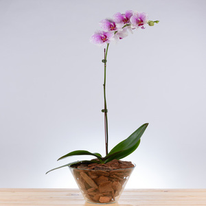 Test of Time Orchid | Buy Flowers in Dubai UAE | Gifts