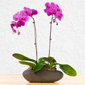 Purple Passion Orchids | Buy Flowers in Dubai UAE | Gifts