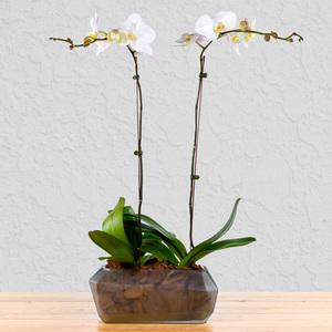 Dream Team Orchids   Buy Flowers in Dubai UAE   Gifts