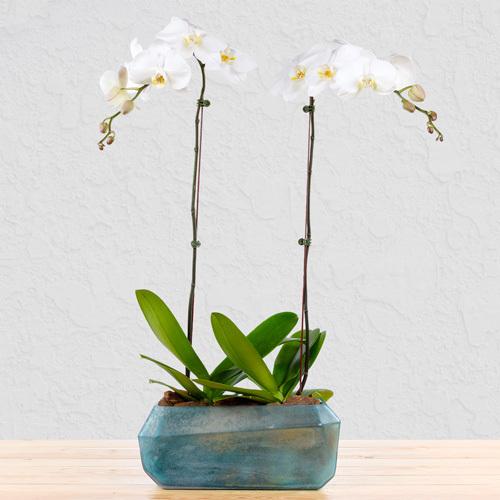 Unbreakable Pair Orchid | Buy Flowers in Dubai UAE | Gifts
