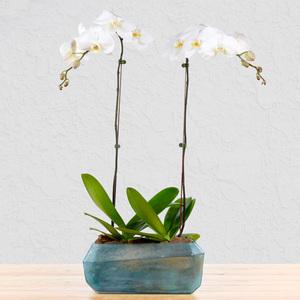 Unbreakable Pair Orchid   Buy Flowers in Dubai UAE   Gifts