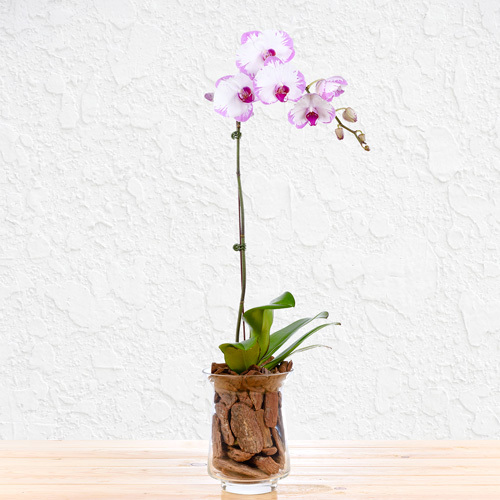 Thoughtful Orchid | Buy Flowers in Dubai UAE | Gifts