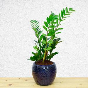 Zamio Zamiifolia | Buy Flowers in Dubai UAE | Gifts