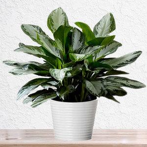 Aglaonema Green | Buy Flowers in Dubai UAE | Gifts