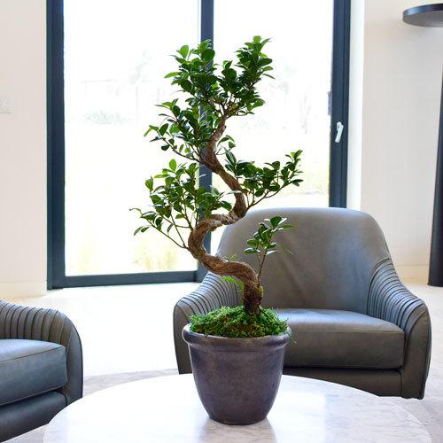 Ficus Bonsai Big | Buy Flowers in Dubai UAE | Gifts