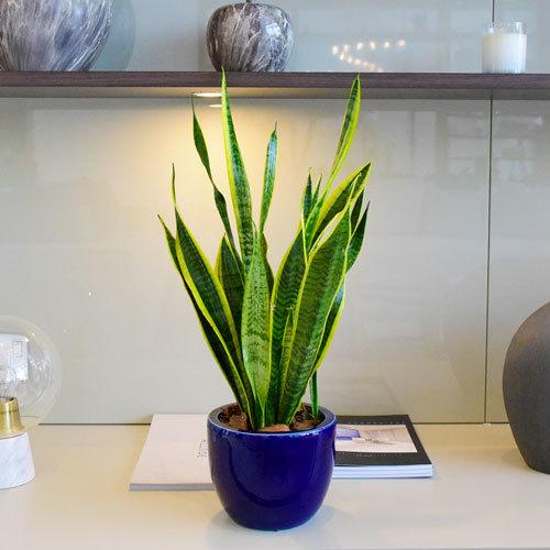 Sansevieria | Buy Flowers in Dubai UAE | Gifts