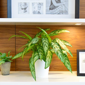 Aglaonema Green | Buy Flowers in Dubai UAE | Gifts