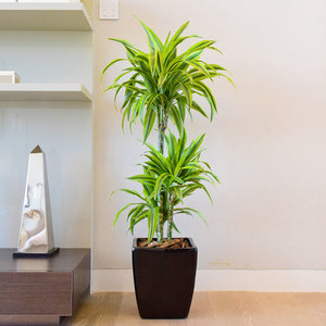 Dracaena Lemon Lime | Buy Flowers in Dubai UAE | Gifts