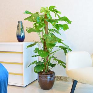 Monstera Plant | Buy Flowers in Dubai UAE | Gifts