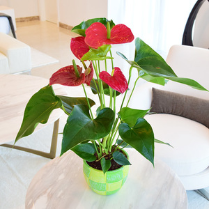 Anthurium Red | Buy Flowers in Dubai UAE | Gifts
