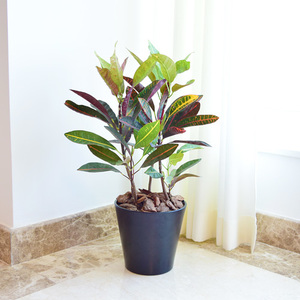 Croton Plant | Buy Flowers in Dubai UAE | Gifts