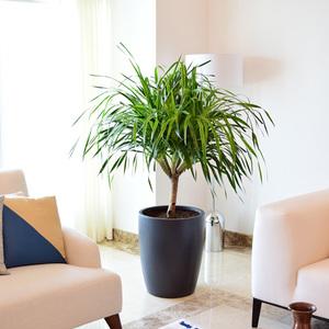 Yucca | Buy Flowers in Dubai UAE | Gifts