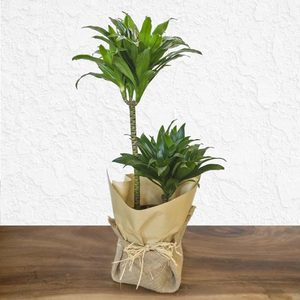 Desert Mirage | Buy Flowers in Dubai UAE | Gifts