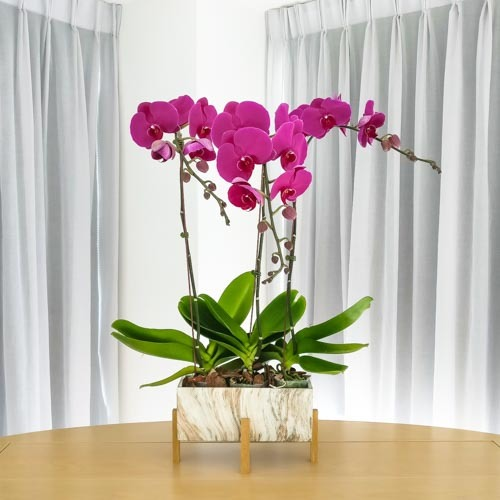 Hawaii Plant | Buy Flowers in Dubai UAE | Gifts