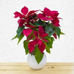Poinsettia | Buy Flowers in Dubai UAE | Gifts