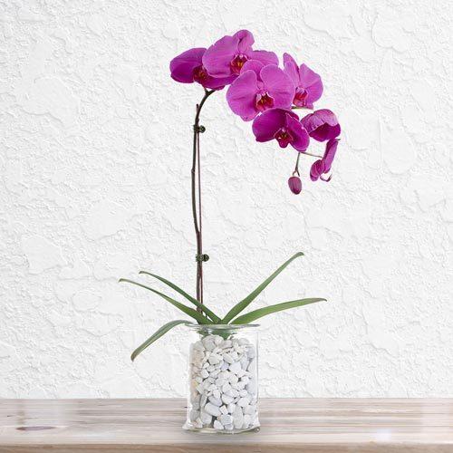 Purple Orchid| Buy Flowers in Dubai UAE | Gifts
