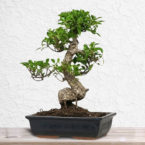 Chinese Bonsai | Buy Flowers in Dubai UAE | Gifts