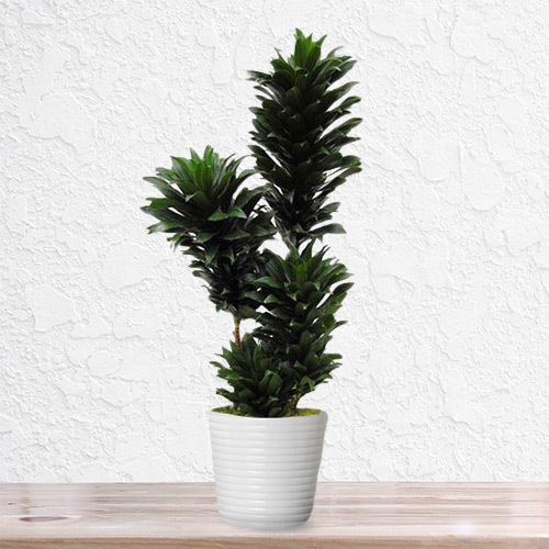 Dracena Compacta Plant | Buy Flowers in Dubai UAE | Gifts