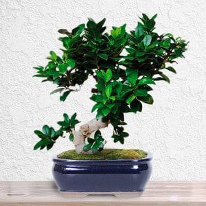 Ficus Bonsai | Buy Flowers in Dubai UAE | Gifts