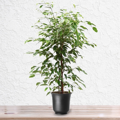 Ficus Golden King Plant | Buy Flowers in Dubai UAE | Gifts